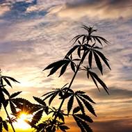 Should you grow marijuana indoors or outside?