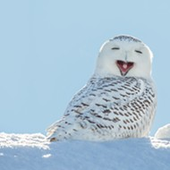 Here's a video of a snowy owl swimming in Lake St. Clair