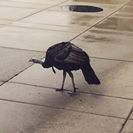 Officials attempt to capture U-M's wild turkey nuisance