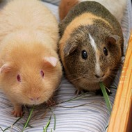 Two Grosse Ile teens arraigned on charges of torturing, killing guinea pig