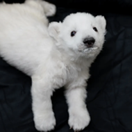 These new polar bear cubs born at the Detroit Zoo are here to save us from ourselves