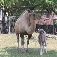Detroit Zoo welcomes baby Camel into the world today