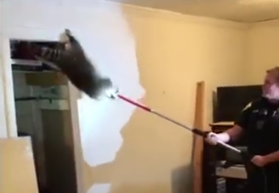 Raccoons fall through living room ceiling — Surprise encounter