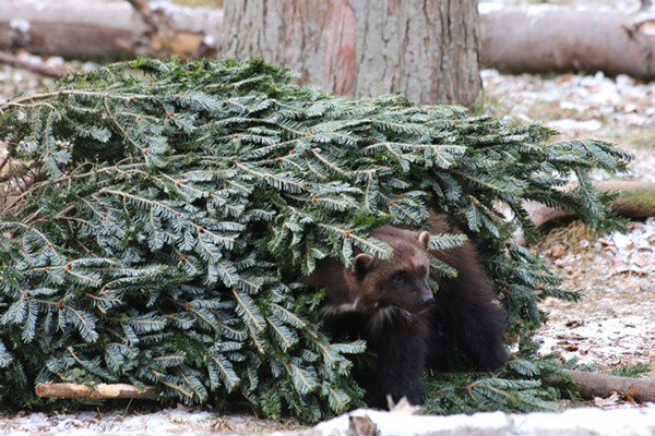 What's more Michigan than a wolverine partying in a pine tree? - JENNIE MILER