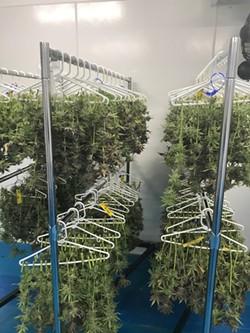 High-tech meets low-tech: marijuana dries on plastic hangers at C3 Industry's grow facility. - LARRY GABRIEL