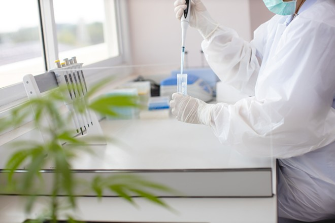 Cannabis lab file photo. - SHUTTERSTOCK