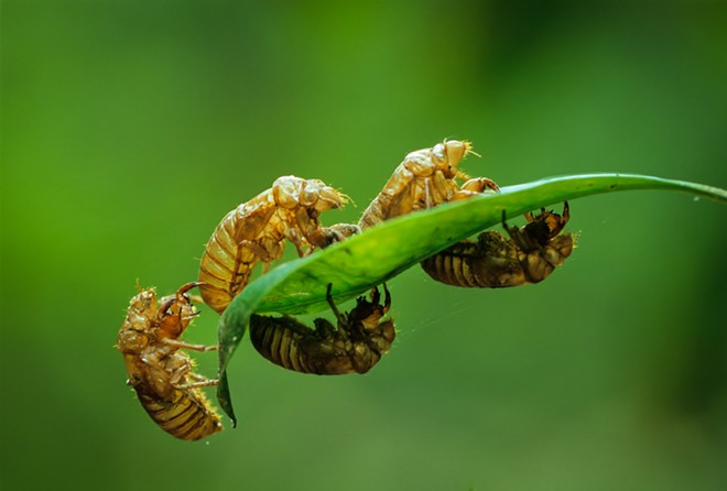 The cicadas in Brood X will leave behind nymphal exoskeletons as they emerge from the underground. - SHUTTERSTOCK
