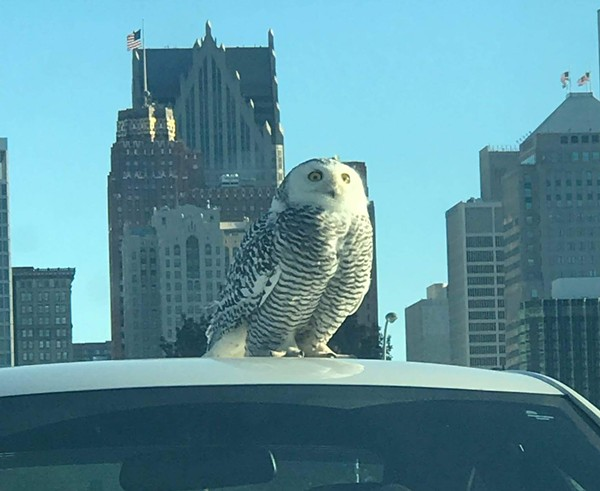 A snowy owl perches on the roof of a car outside of a post office in Detroit. - PHOTO BY KIMBERLY FANTROY, COURTESY OF DETROIT AUDUBON