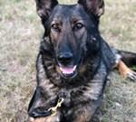 Meet Max - Police K-9
