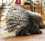 Creature Encounters - Crested Porcupines!