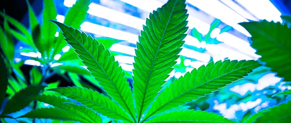 In Michigan, Big Marijuana wants to crack down on caregivers who grow pot for patients at home