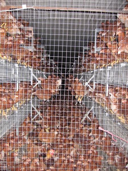 Chickens crammed into a factory farm. - COURTESY OF CORNUCOPIA INSTITUTE