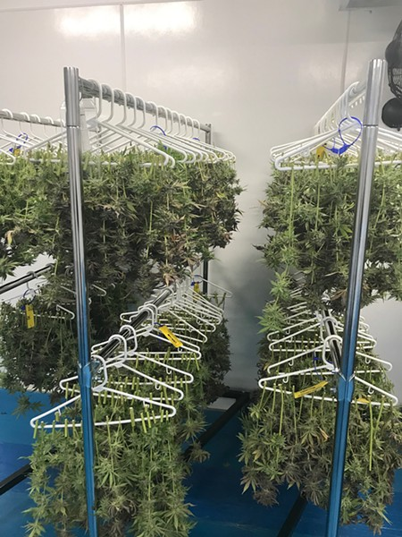 High-tech meets low-tech: marijuana dries on plastic hangers at C3 Industry's grow facility. - LARRY GABRIEL