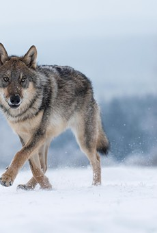 Endangered wolves found trapped in footholds in the U.P., one found fatally shot