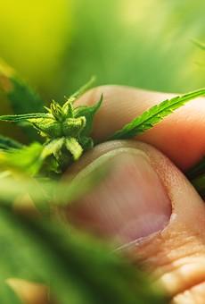 Bumpy rollout slows growth of Michigan marijuana jobs