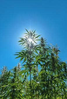 Multiple states legalized marijuana, magic mushrooms on Election Night