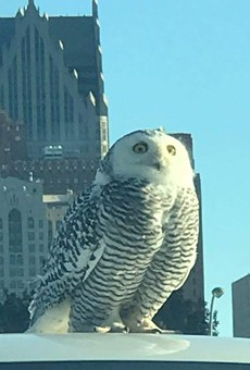 Detroit is being invaded by arctic snowy owls