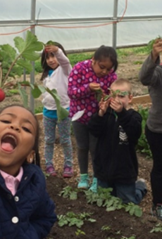 DPS students pick radishes at one of the district's hoop houses.