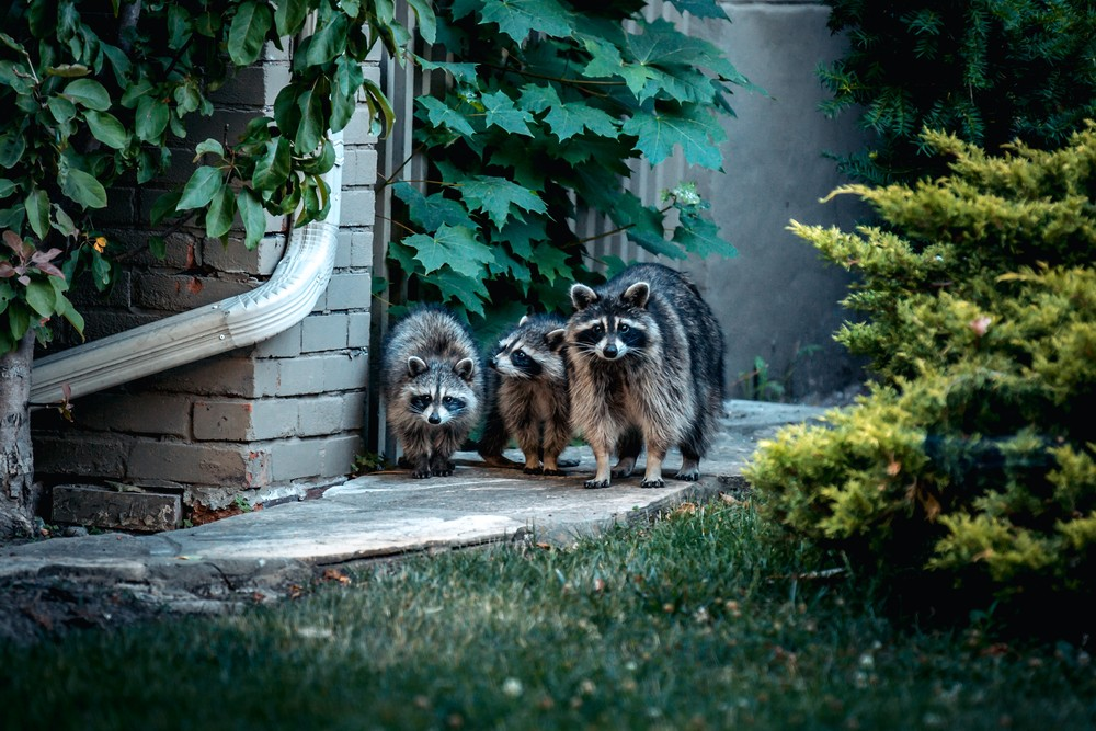 A pack of raccoons is terrorizing Detroit's west side   News