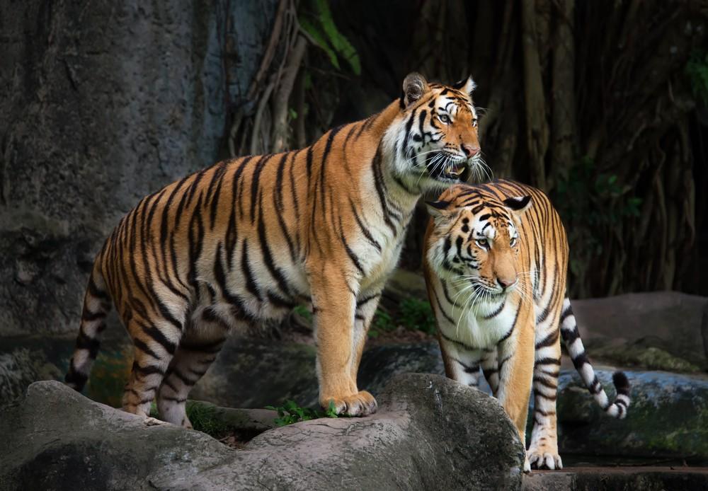 Bengalin Tiikeri