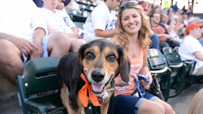 A dog, probably named Buster, having the time of his life at Comerica Park. - COURTESY PHOTO.