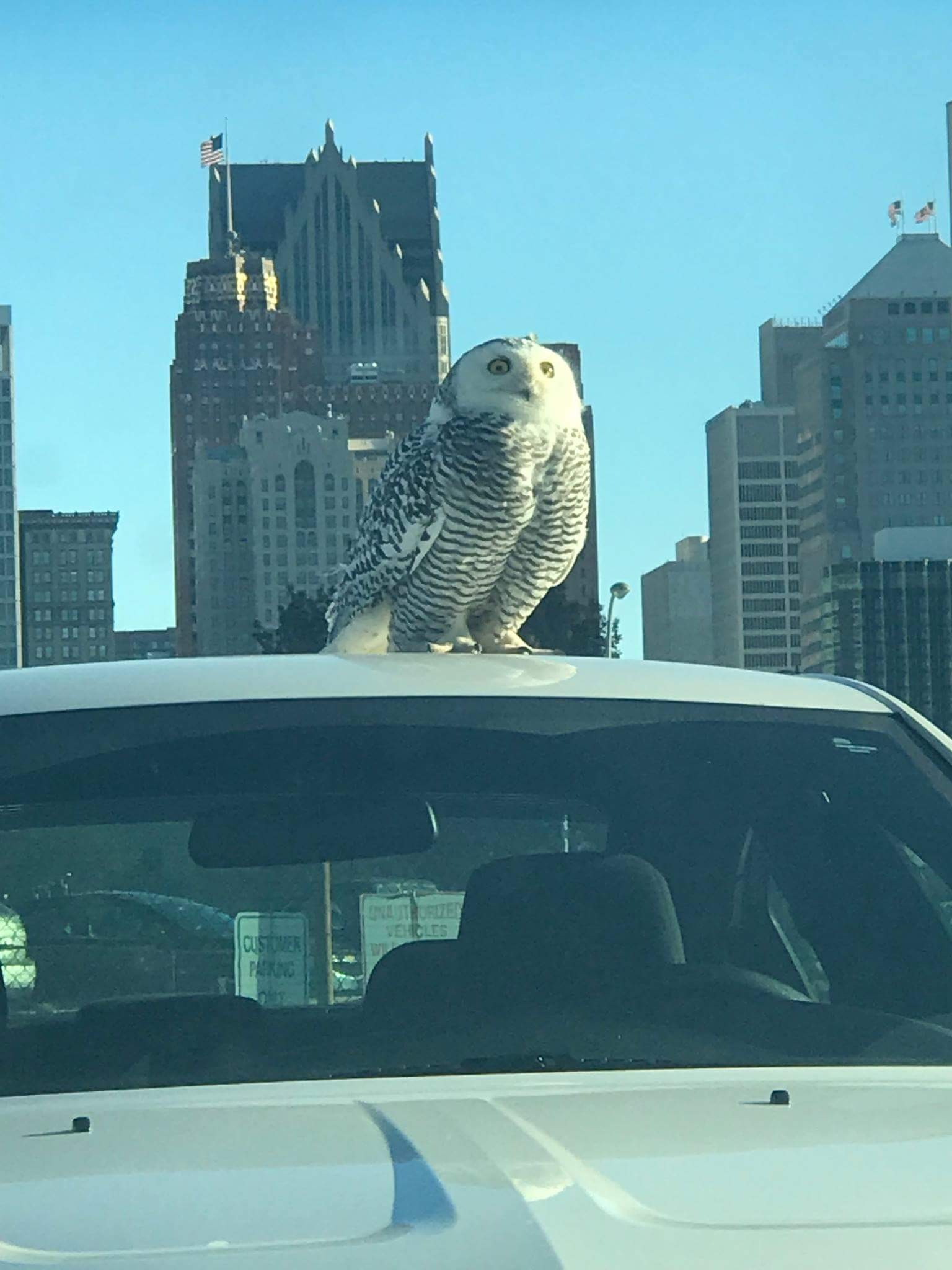 Detroit Is Being Invaded By Arctic Snowy Owls Winter Guide