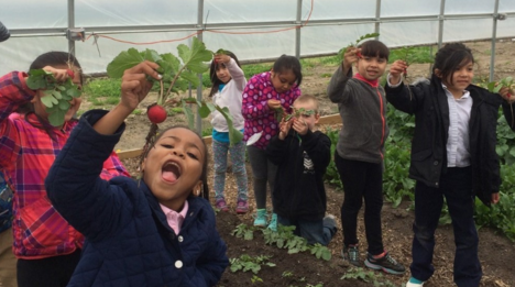 DPS students pick radishes at one of the district's hoop houses. - COURTESY PHOTO