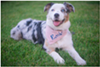 Rose the Australian Shepherd is currently leading the pack in votes.