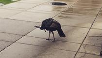 Officials attempt to capture U-M's wild turkey nuisance