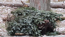 This video of animals from the Detroit Zoo tearing apart Christmas trees will warm your cold beating heart