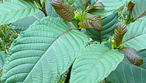Best Kratom for Sale: Where To Buy Kratom Online