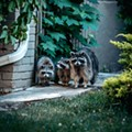 A pack of raccoons is terrorizing Detroit's west side
