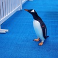Watch penguins parade in adorable fashion into new home at Detroit Zoo