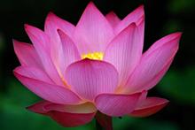 c294caac_purple_lotus.png