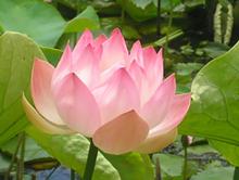 b534cd3f_pink_lotus.png