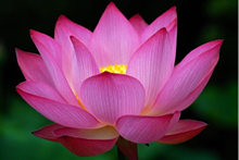 405fd67d_purple_lotus.png