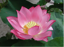 8a534e32_lotus_for_mindfulness_.png