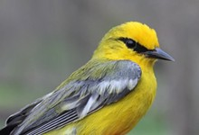 0d28f2cf_blue_winged_warbler_so_2017.jpg