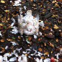 Unleashed A decapitated bird and sprawl of feathers are what's left after two unleashed dogs and their owners exit a wooded path leading to the Trinidad Beach. Photo by Deidre Pike