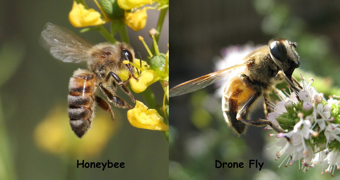A honeybee and its mimic - ANTHONY WESTKAMPER
