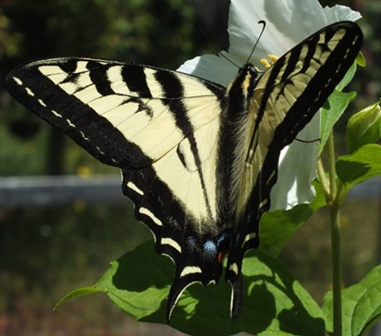 A perfect Tiger Swallowtail. - ANTHONY WESTKAMPER