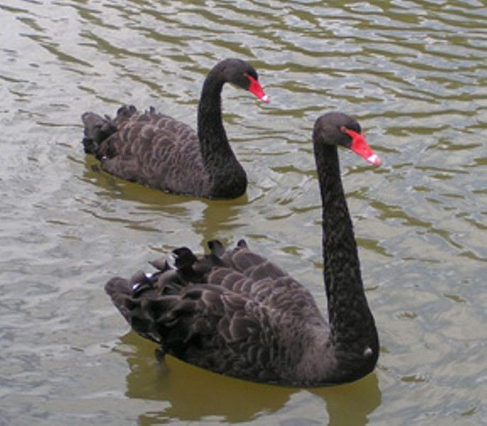 "A theory that posits ""all swans are white"" can be refuted by the existence of a single black swan."