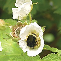 I'm your thimbleberry: The life and times of Rubus parviflorus A yellow-faced bumblebee dines on the heady nectar of the thimbleberry. Photo by Heidi Walters.