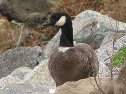 PHOTO BY FLICKR USER STONEBIRD/CREATIVE COMMON LICENSE - Aleutian Goose: A rare case of a species coming back from the brink, these geese routinely transit Humboldt County.