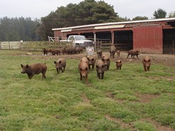 PHOTO BY DIANE DEE KORSOWER - Alexandre Farms pigs