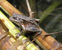 The California red-legged frog, or Rana draytonii. Let's hope fame doesn't spoil him. - FROM THE U.S. FISH AND WILDLIFE WEBSITE
