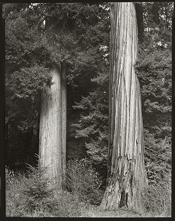 1a53ceb3_two_redwoods_prairie_creek_redwoods_8x10.jpg
