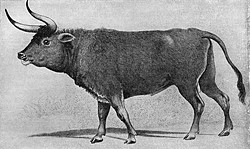 Aurochs, ancient relatives of modern cattle, were once herded for milk. Depicted in many cave paintings, aurochs were huge: adults were 6.5 feet at the shoulder and weighed 2,200 pounds. They went extinct about 400 years ago. (Public domain)