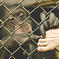 Saga of an Ape — The surprising true story of the late Bill the Chimp Bill gently grooms his keeper's toes. Photo by Jan Roletto.