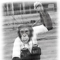 Saga of an Ape — The surprising true story of the late Bill the Chimp Bill retires after his final boxing match. Humboldt Standard, 1957